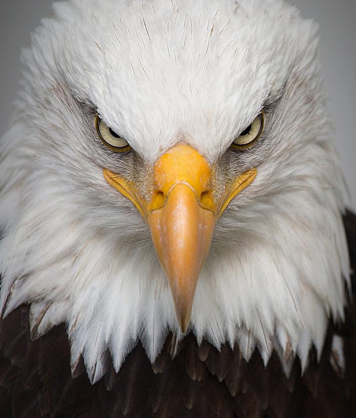 Eagle, muotokuva, Wild, lintu, Luonto, Predator, Lähikuva
