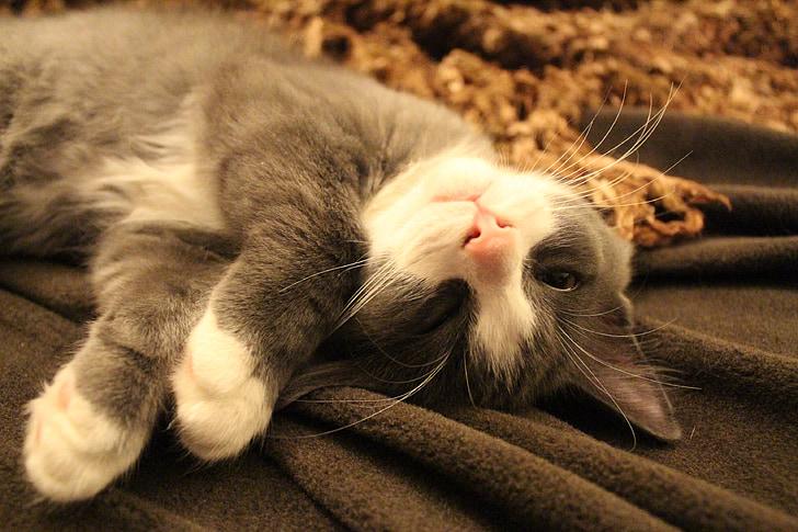 dormint el gat, resta, cansat, gatet, animal, animal de companyia, son