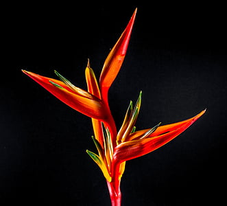 birds of paradise, bloom, blossom, colorful, colourful, flora, flower