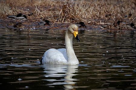 animal, swan, waterfowl, wild animal, natural, seasonal, winter