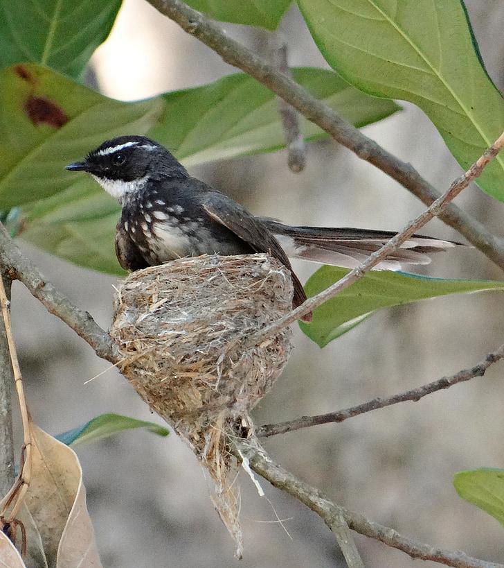 Белогърла ветрилообразна опашка мухоловка, rhipidura albicollis, Насекомоядни, птица, птица гнездо, гнездо, инкубационен период