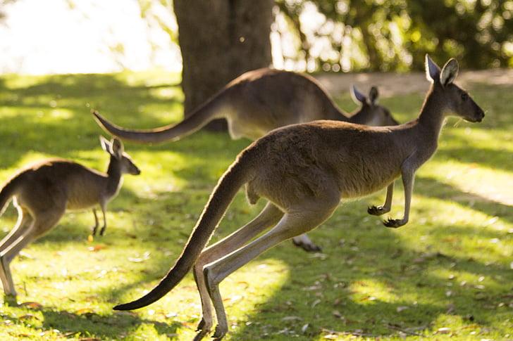 kangaroo, australia, perth, animal, nature, wildlife, mammal