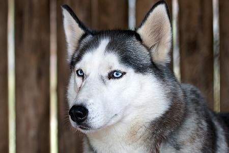 husky dog, canine, portrait, fur, looking, head, eyes