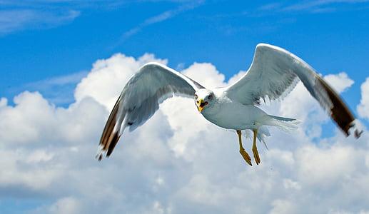 lokki, merilintujen, vesilintu, yksi eläin, eläinten Teemat, levittää siivet, villieläimet