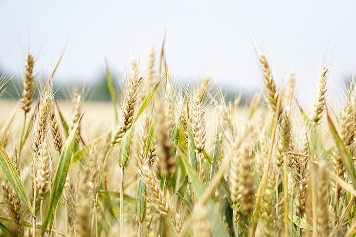 kviečių, kviečių laukas, Niva, vasaros, grūdų, smaigalys, grūdų