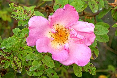 上升, 开花, 绽放, 粉色, 红色, 玫瑰绽放, 浪漫