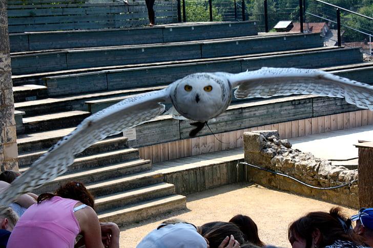 Pöllö, Tunturipöllö, Pöllö lento, valkoinen pöllö, Flying, petolintu, lintu