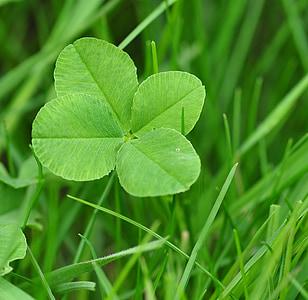 Four leaf apila, onnea, apila, Klee, onnenkalu, Shamrocks