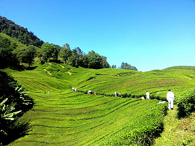 tea plantation, tea farm, tea, cameron highlands, malaysia, green, nature