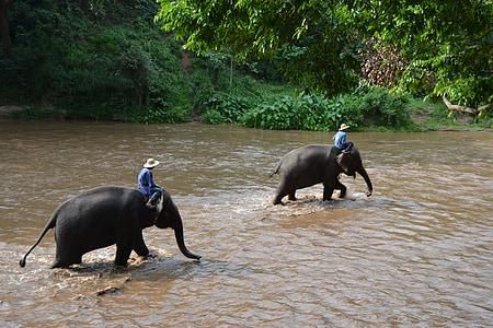 campament elefants, elefant, Tailàndia, elefant de cuidador, animals, cuidador, Selva
