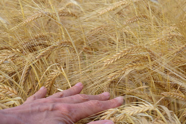 barley, barley field, hand, cereals, spike, agriculture, field