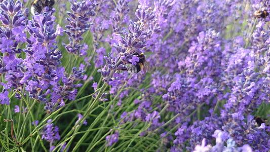 lavender, hummel, insect, violet, nature, purple, garden