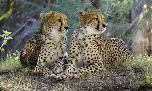 cheetah, nature, wildlife, cat, animals in the wild, animal wildlife, animal themes