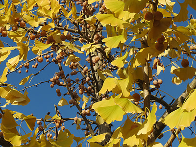 ginkgo biloba, ginkgo, maidenhair tree, leaves, fruits, foliage, flora