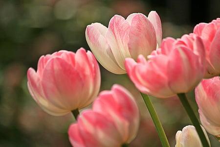Tulipani, fiori, primavera, pianta, Flora, natura, chiudere