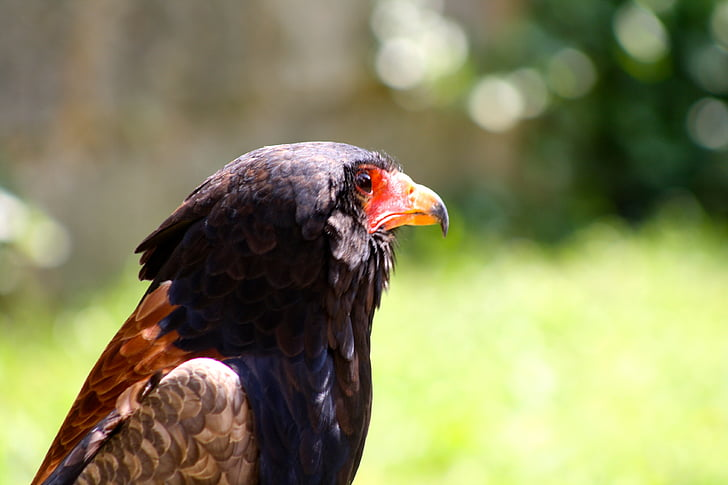 hawk, bird of prey, falconry, falcon, raptor