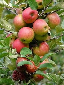 урожай, яблоко, спелый, красный, Яблоневый сад, Яблоня, фрукты