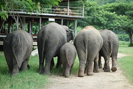 elefant, Tailàndia, parc natural de elefant, animal, mamífer, vida silvestre, natura