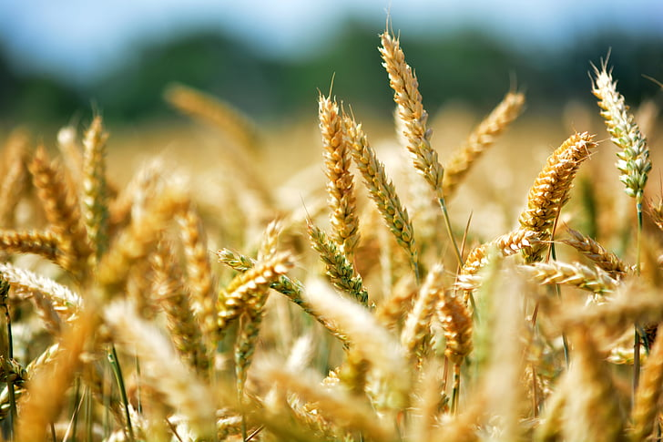 wheat, grain, by chaitanya k, agriculture, wheat ear, wheatfield, cereals