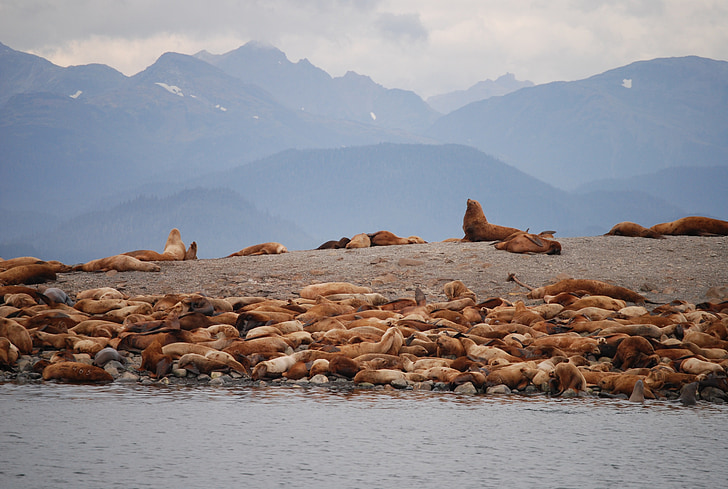 lleons marins, Juno alaska, Alaska, animals