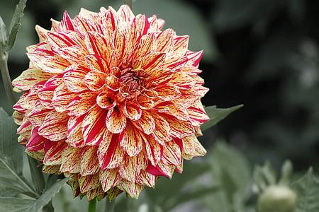 dàlia, flor, flor, jardí de dàlia, jardí de flors, flor
