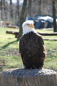 kalju kotkien, Raptor, kalju kotka, eläinten, petolintu, valkoinen pyrstö eagle, Adler