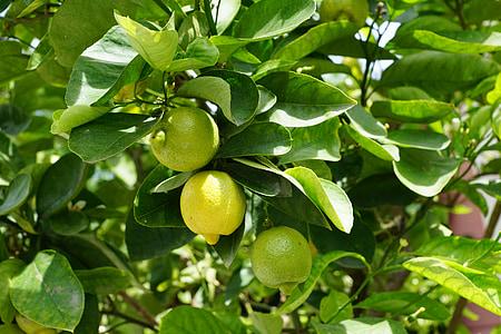レモン, ツリー, グリーン, サワー, フルーツ, レモンの木, イビサ島