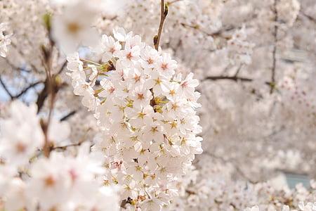 flors, primavera, flors de primavera, plantes, flors cirerers, Sakura