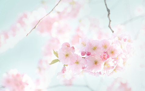 flowers, blooming, spring, cherry, sunny, cherry tree, blossom