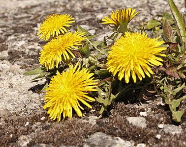 quintuplet, rumena, pesek, plevela, narave, rastlin, cvet