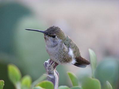 hummingbird, baja california, dinky