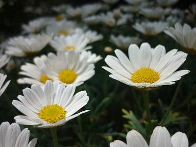 daisy, flower, garden, white, nature, plant, summer