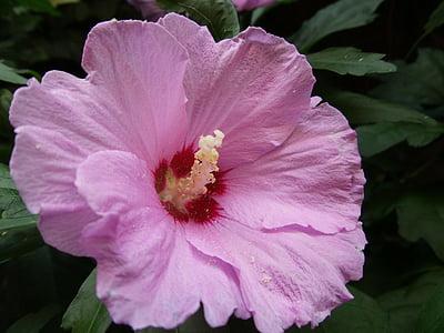 Mallow, fleurs rose, fleur, feuilles caduques, macro