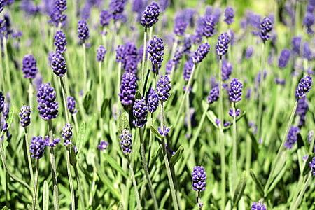 Lavendel, lilled, Bloom, Violet, Lavendel lilled, lõhn, loodus