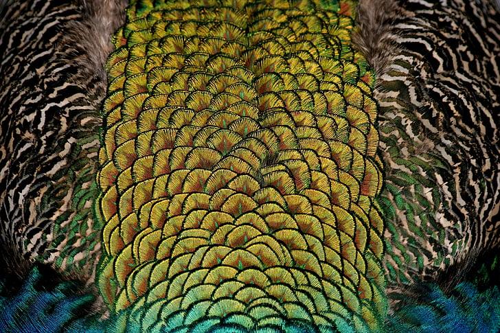 fågel, färg, färgglada, färg, färgglada, fjädrar, skimrande
