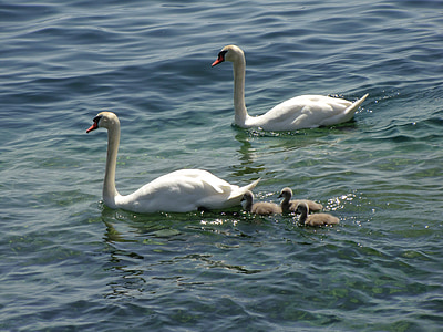 swans, ducks, geese, animals, duck family, lake, water