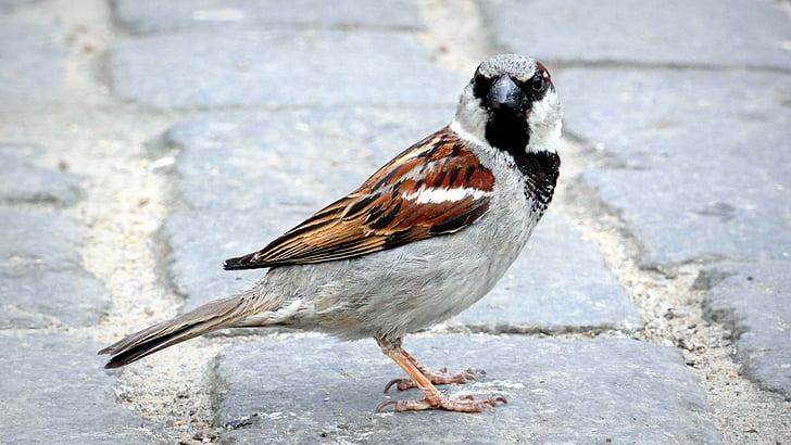 con chim, sparrow, wróbelek, bút, chim, đô thị chim, con chim nhỏ