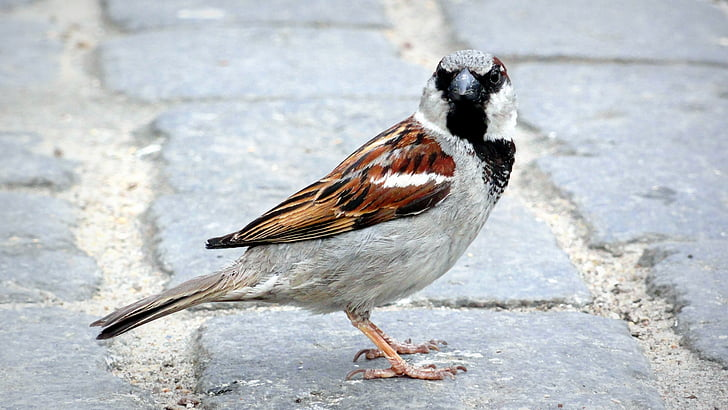 bird, the sparrow, wróbelek, pen, birds, urban bird, little bird