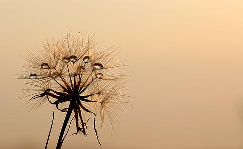 Глухарче, слънце, роса, вода, растения, природата, растителна