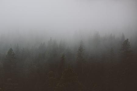 туман, соснові, дерева, ліс, Вудс, Туманний, сірий