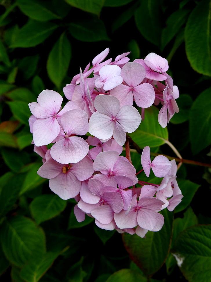 Hortensia, bloem, roze, Blossom, Botanische
