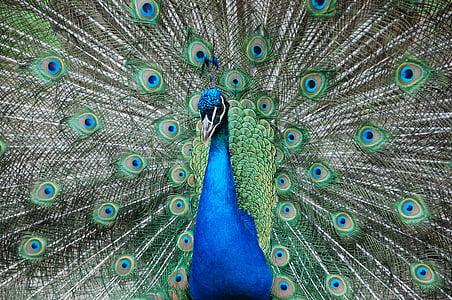 páv, Zoo, maznanie, modrá, Zelená, farby, zviera