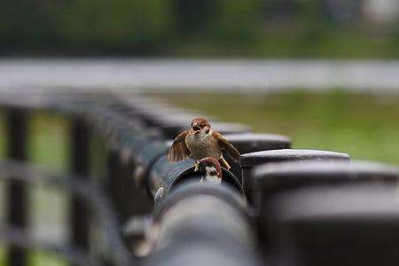 животните, малка птичка, врабче, дивите птици, диво животно, естествени, пейзаж