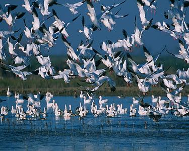 salju angsa, kawanan, terbang, penerbangan, massa, langit, alam