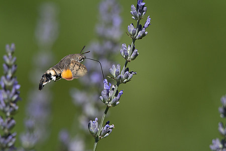 butterfly, forage, lavender, garden, summer, fly, on site