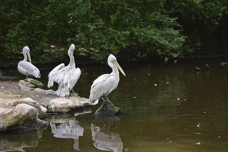 Pelican, lintu, eläinten, Luonto, Wildlife, Pelican-bird