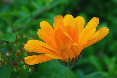 Medetkų, gėlė, oranžinė, žiedlapiai, sodas, žydėti, vasaros