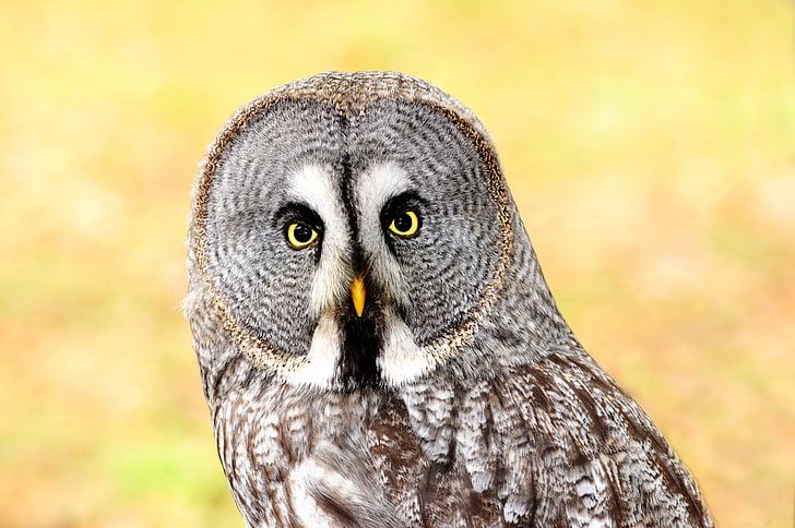 Лапландия сова, граблива птица, птица, остър поглед, едно животно, животните дивата природа, животните