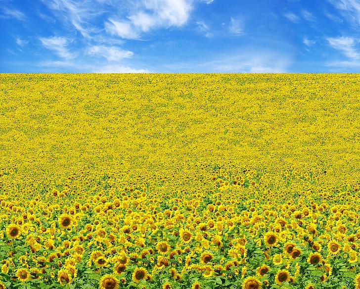 слънчоглед, поле, жълто, цвете, Блум, Блосъм, листенца