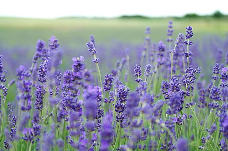campo di lavanda, lavanda, viola, campo, fiore, natura, pianta
